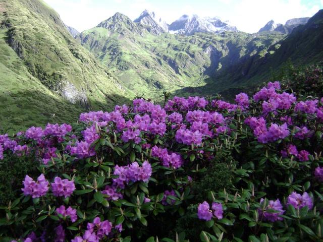 bhutan-rhododendron