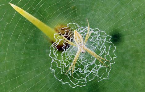 argiope-zigzag-circular-spider-web_26689_600x450