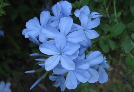 blue-Jasmine-flowers-as-houseplant