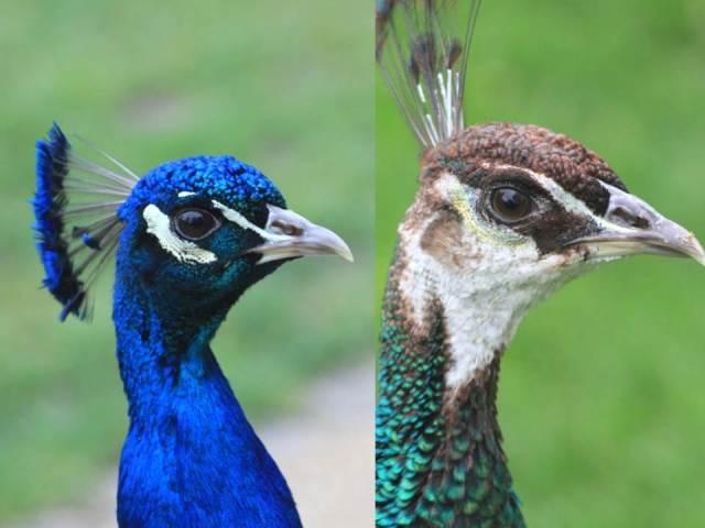 Peacock heads