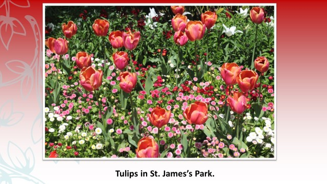Tulips in St. James's Park